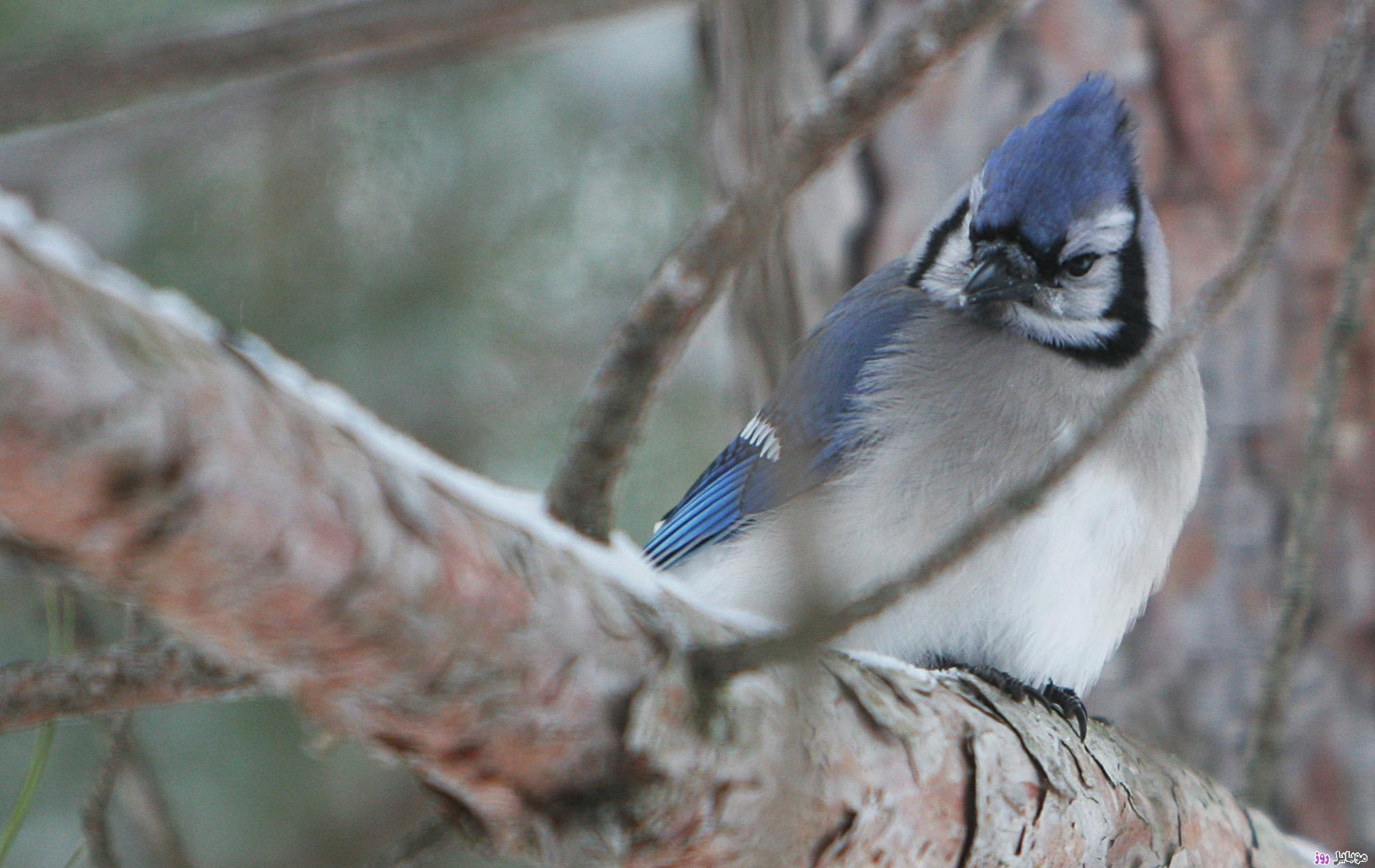 [عکس: Life-of-Pix-free-stock-photos-blue-bird-jay-Leeroy.jpg]